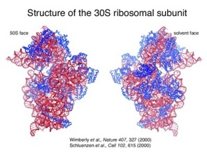 30S ribosome assembly